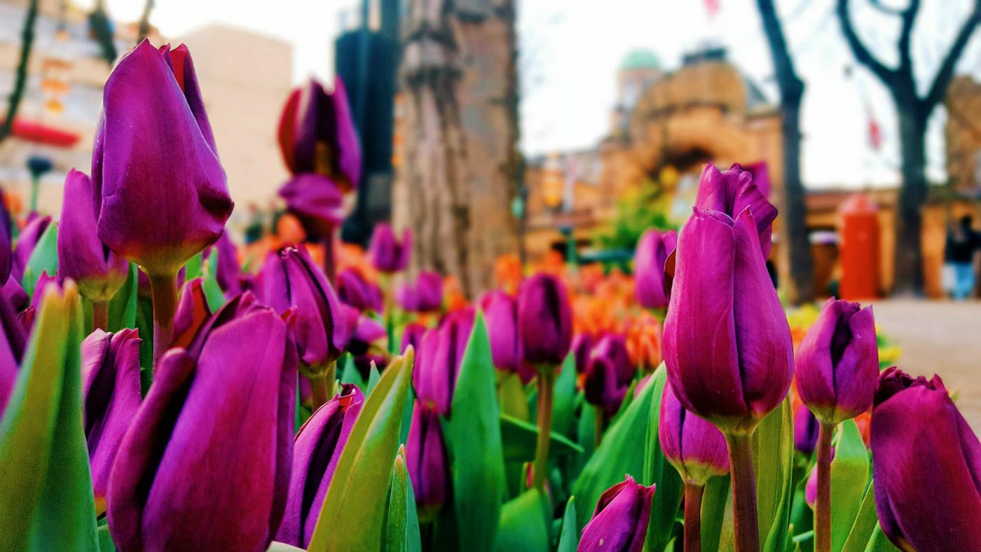 momentos-bonitos-del-dia-tulipanes