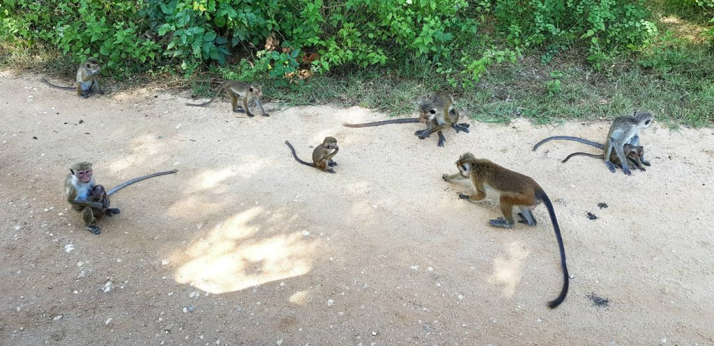 monos-en-sri-lanka